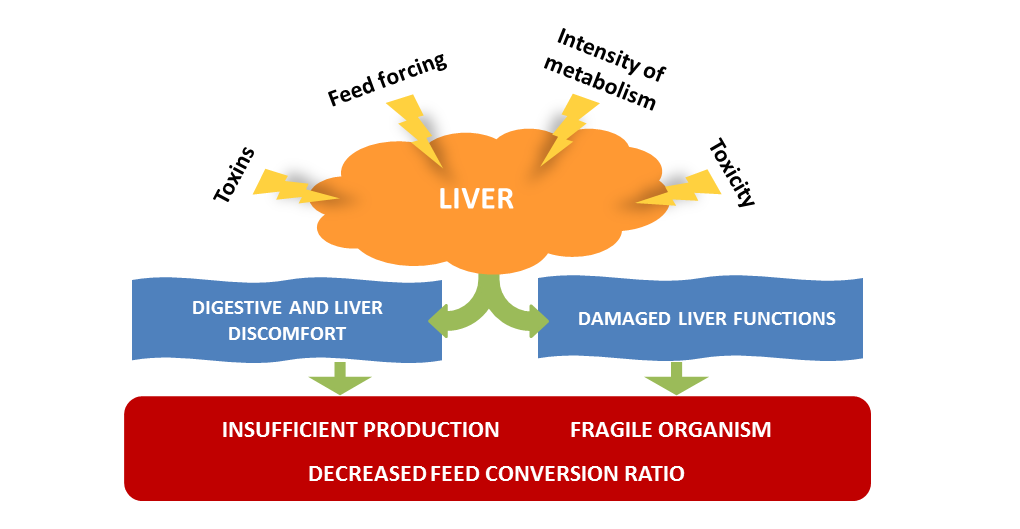 The Liver The Cornerstone Of Livestock Performance Animal Care Techna